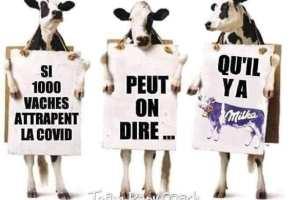 Si 1000 vaches attrapent le Covid