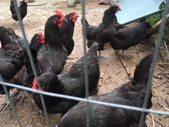 Shade Tree Farm Chickens