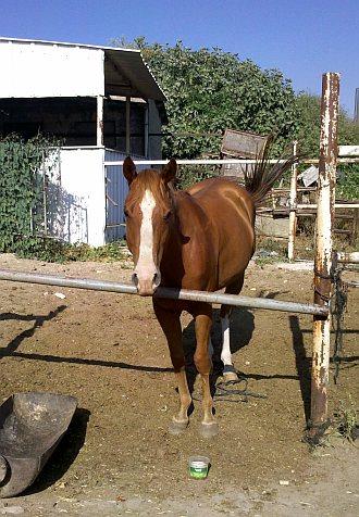 הסוס חומוס