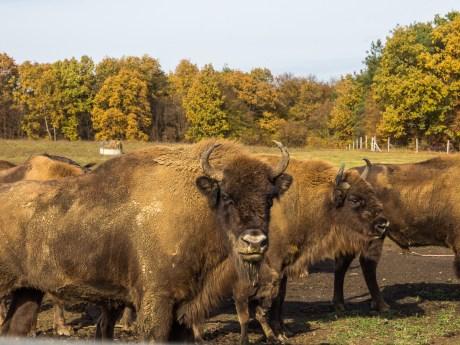 Europäisches Bison im Örseg Nationalpark