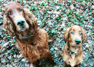 Zwei Irische Setter