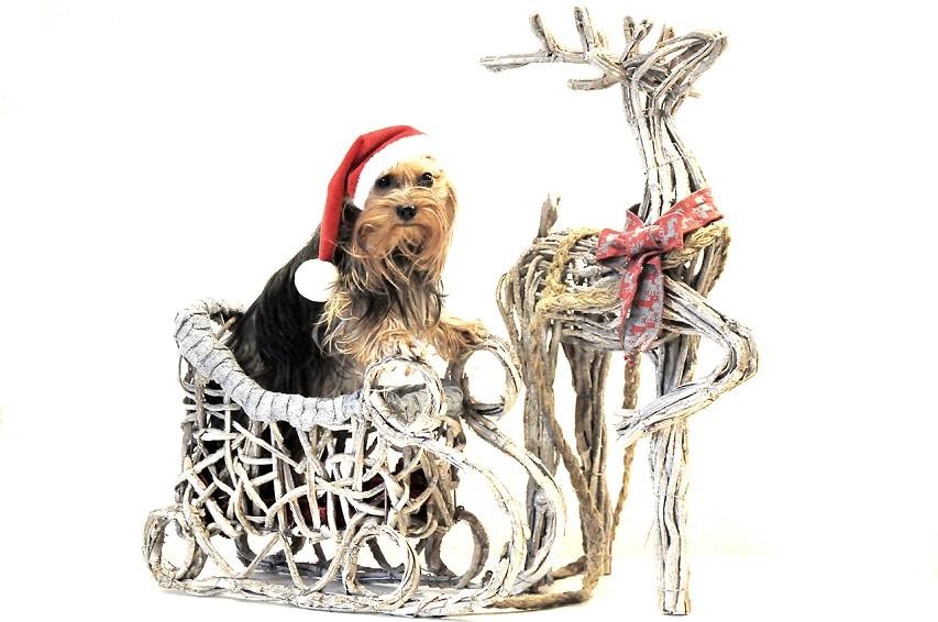 Yorkshirterrier Amy mit Weihnachtsmütze