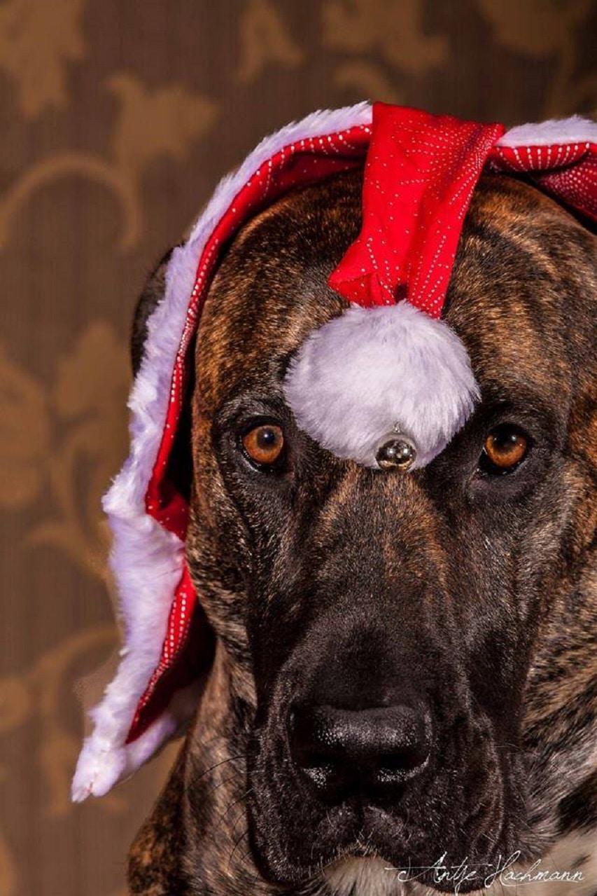Hund mit Weihnachtsmütze Foto von: Foto: Antje Hachmann