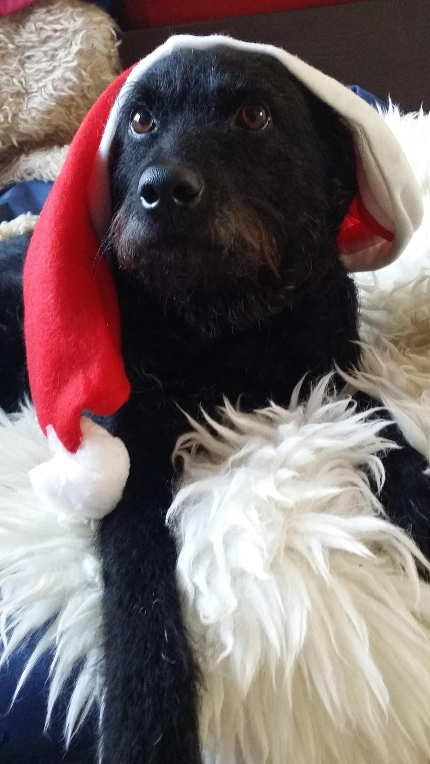 Nummer 9 - Hund Ami auf Fell mit Weihnachtsmannmütze