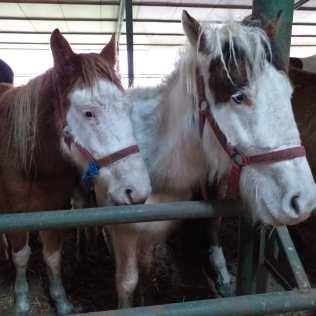 hästar15