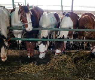 EU-häst