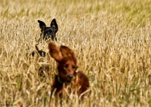 Hundkurs Hundutbildning Inkallningskurs