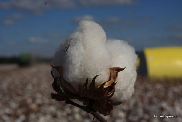 perfect cotton boll