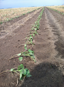 windblown cotton seedlings in NE Ark