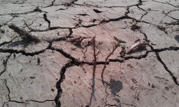 Cotton hurting from drought