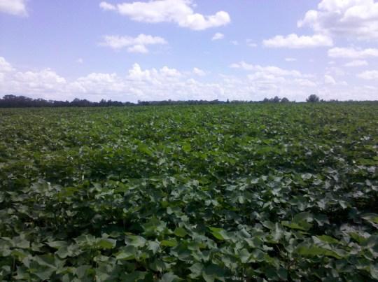 South Georgia cotton field