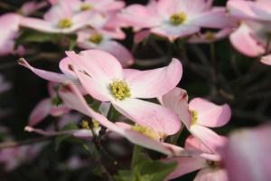 beautiful pink dogwoods