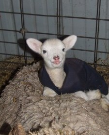 Worn-out or outgrown cotton sweatshirts are perfect for making clothes for new lambs that need a little extra protection from the cold.
