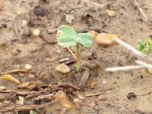 cotton plant just after emergence