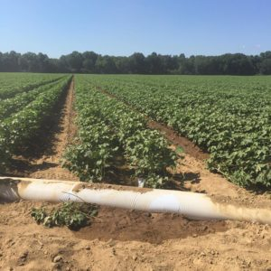 North Alabama irrigated cotton
