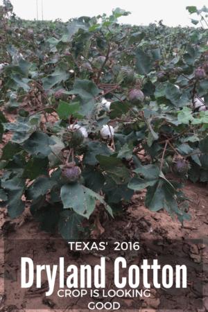 Texas Dryland Cotton