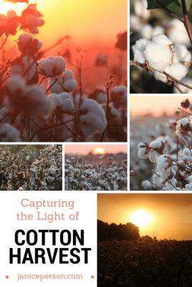capturing the light of cotton harvest