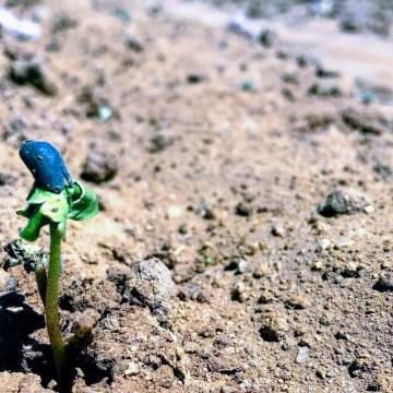 cotton planting 2019