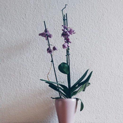 verblühte Orchidee vor Rauhfasertapete