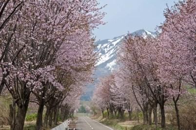 World's longest cherry lined road