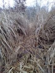 Rotwildwechsel im Gras
