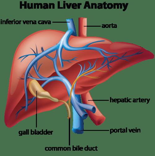 liver-anatomy