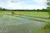Rice_fields_near_Doi_Inthanon_NP