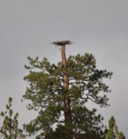 dsc_04371-eagle-nest-near-janes-reservoir