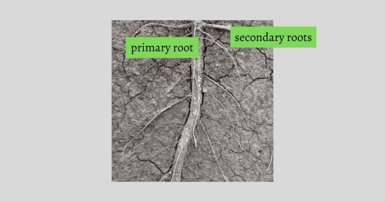 HuntersWoodsPH Montessori Botany Parts of a Root
