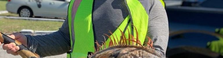 Huntiguana.com now offering mainland Iguana Hunts