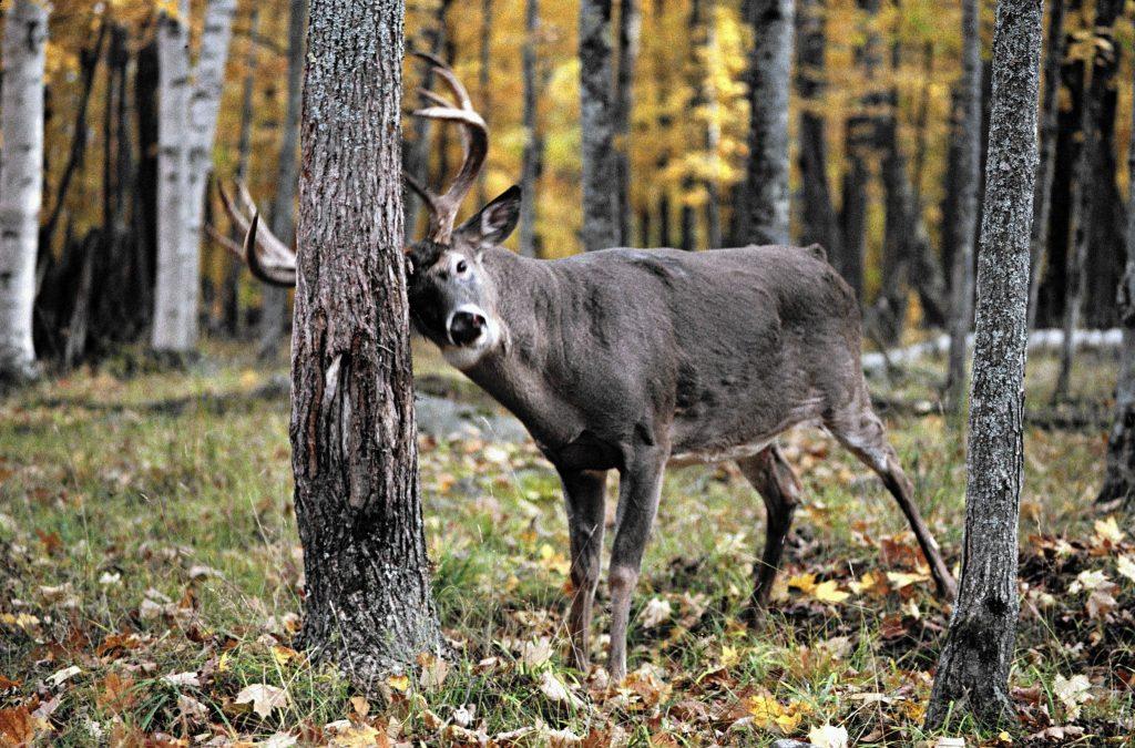 tracking deer marks