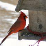 Best Cardinal Bird Feeders