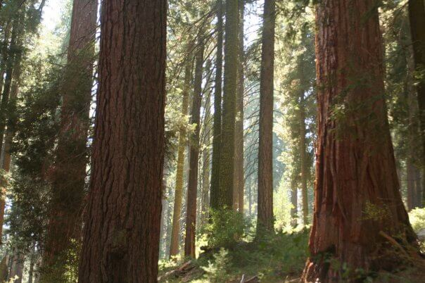 Redwoods, Sequoia National Park.