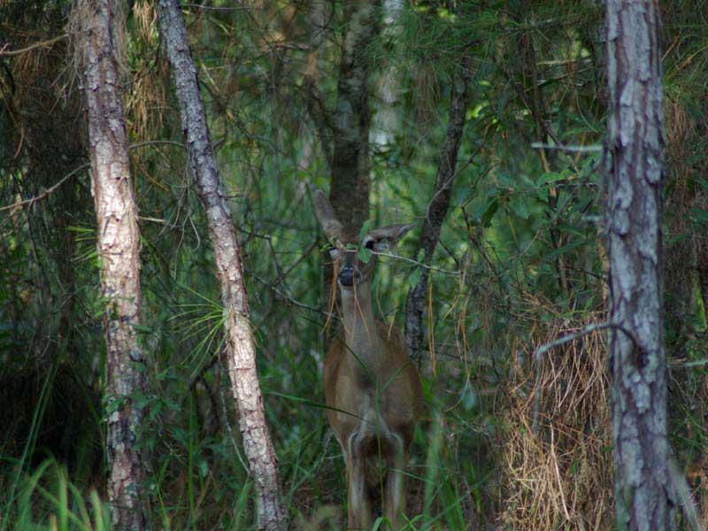 hunting-in-florida-whitetail-deer-hunting-007