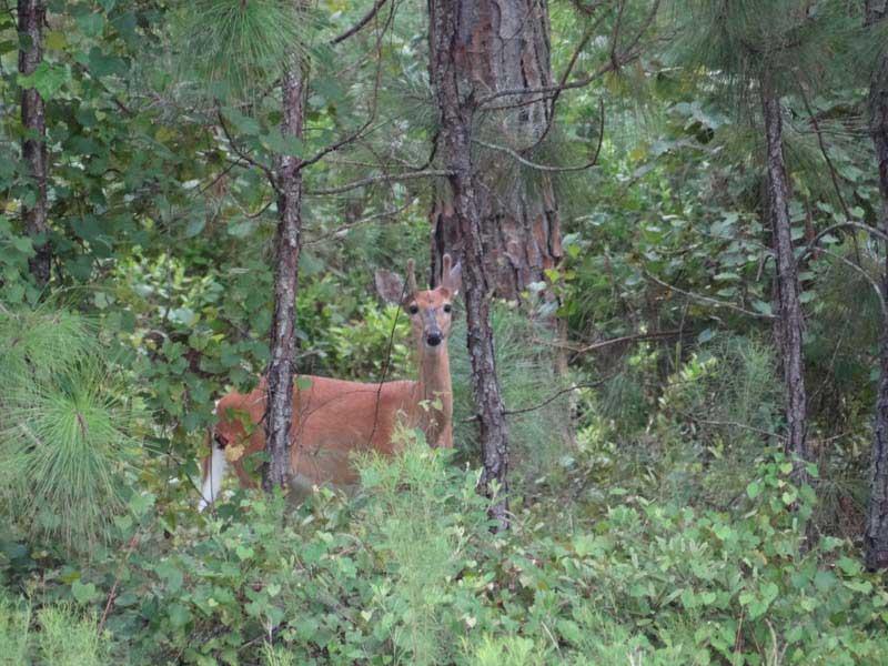 hunting-in-florida-whitetail-deer-hunting-017