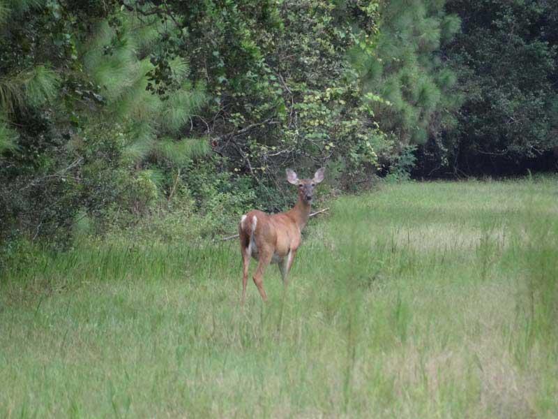 hunting-in-florida-whitetail-deer-hunting-023