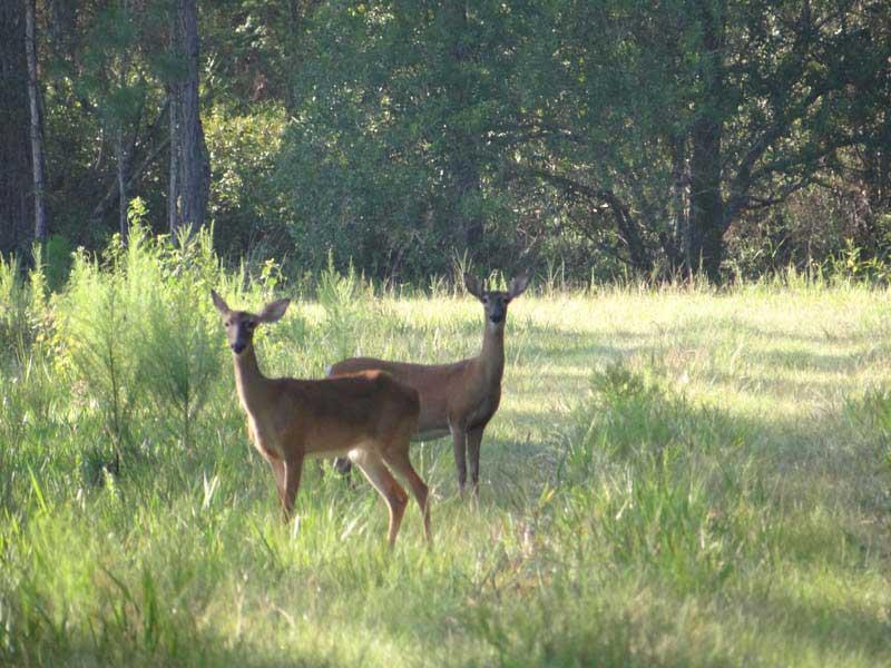 hunting-in-florida-whitetail-deer-hunting-031