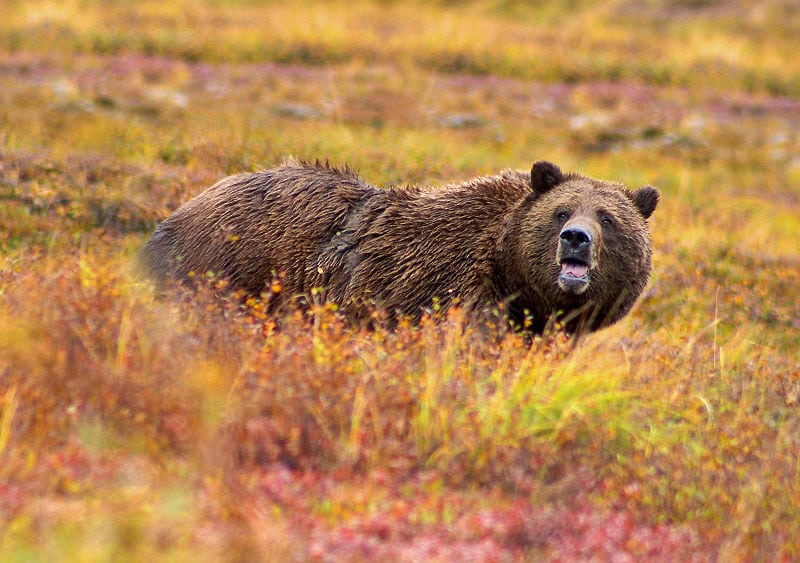 Wyoming Grizzly Bear Hunting Applications Available Now!  by Mike Bodenchuk, Contributor