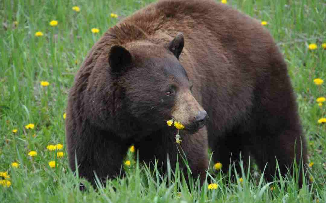 New Jersey Bear Hunt and the Integrity of Wildlife Management By Mike Adams from The Hunting Angle