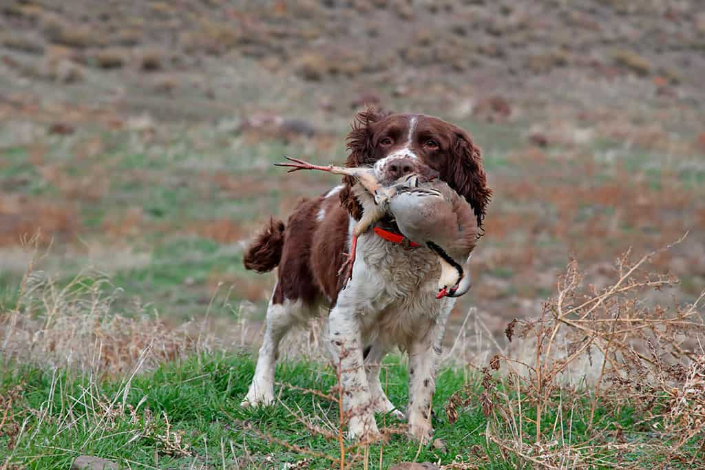 hunting dogs img 04