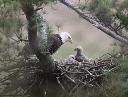 eaglekorber