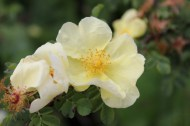 Rosa xanthina