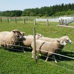 岩手・小岩井農場へドライブ|まきば園散策と羊のショー