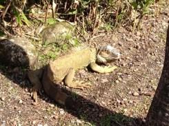 Costa Rican Green Iguana