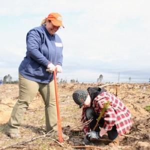 Jack Pine Planting
