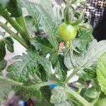 ミニトマトの苗も一株仲間入りしました〜自根苗と接木苗ってのがあるんですね値段が倍くらい違うので、安価な自根苗にしましたが…うまく育ってくれるかなぁ接木苗の方が病気に強い&成長が早いそうです。#ミニトマト#苗#初心者#超#狭小#プランター#農園#増殖#スペース#そろそろ#限界です