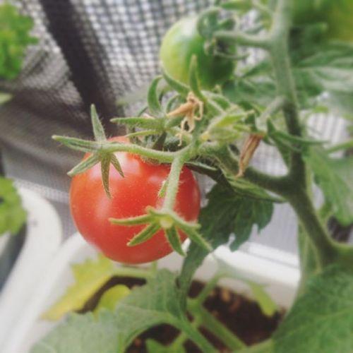 初収穫のタイミングを探っております。そろそろ?#ミニトマト#一粒#タイミング#超狭小#プランター#農園#日報