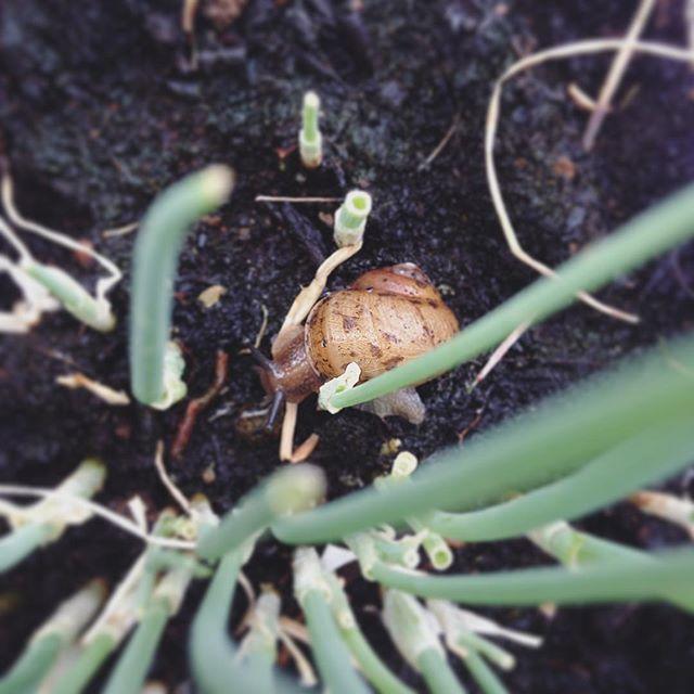 小ねぎのところにカタツムリ。駆除すべきかせざるべきか…それが問題だ#カタツムリ#害虫#駆除#するか#しないか#悩み中#超狭小#プランター#農園