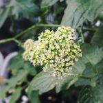 パセリの花咲いてます。もう終わりかけかな#暑い#とにかく暑い#パセリ#花#超狭小#プランター#農園