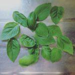 バジル収穫〜まるっとならない葉っぱも美味しくいただけるのだろうか#バジル#収穫#超狭小#プランター#農園